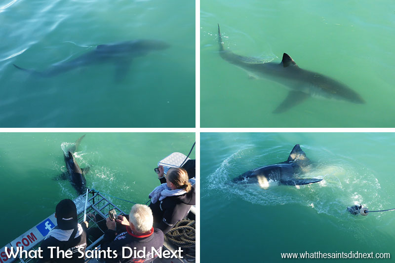 Great White Shark Cage Diving. Got our first shark photos as they swam around our boat, Slashfin. Our pictures don't do justice to how big these fish were unfortunately. The viewing platforms from the boat were great.