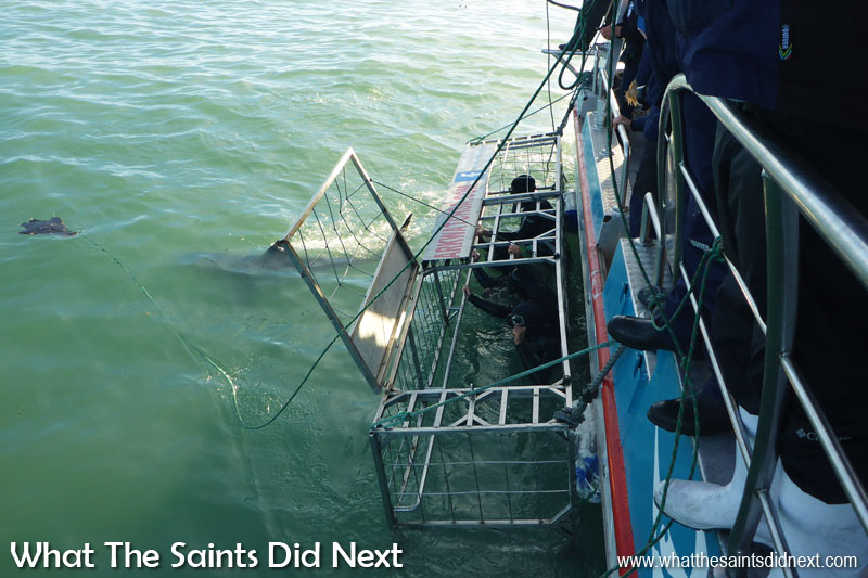Great White Shark cage diving is ideal for those seeking cool bucket list ideas. One of the two hatches on top of the cage is open in this shot, showing how we get in and out. The shark in the water is heading toward the decoy seal.