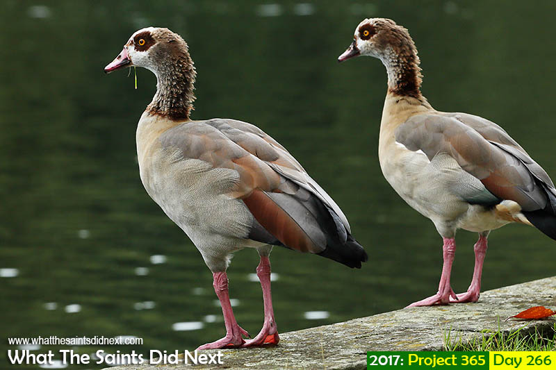 'Women on the inside'<br /> 23 September 2017, 11:22 - 1/500, f8, ISO-400<br /> Pair of Egyptian geese in Runnymede park, London.