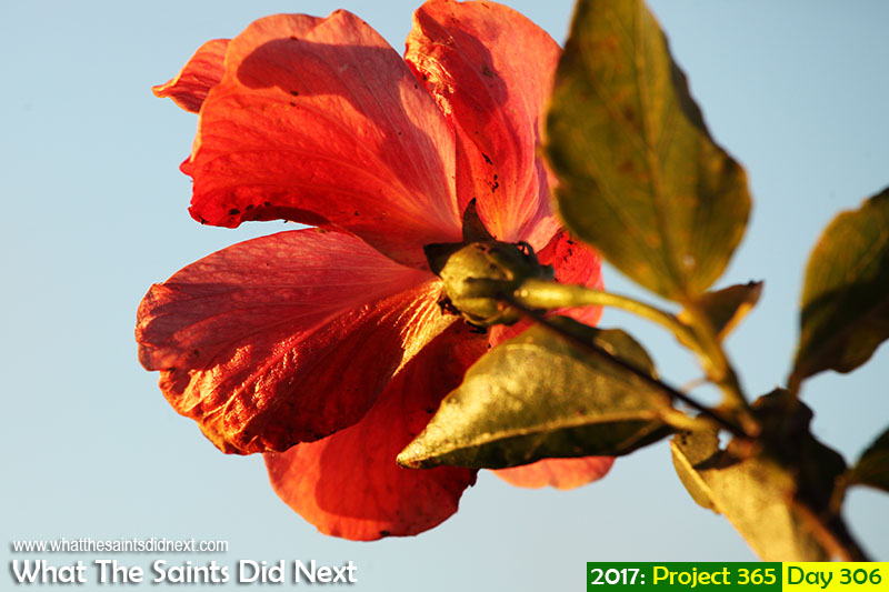 'Fake News'<br /> 2 November, 2017, 18:12 - 1/320, f8, ISO-400<br /> Hibiscus flower.<br /> #hibiscus