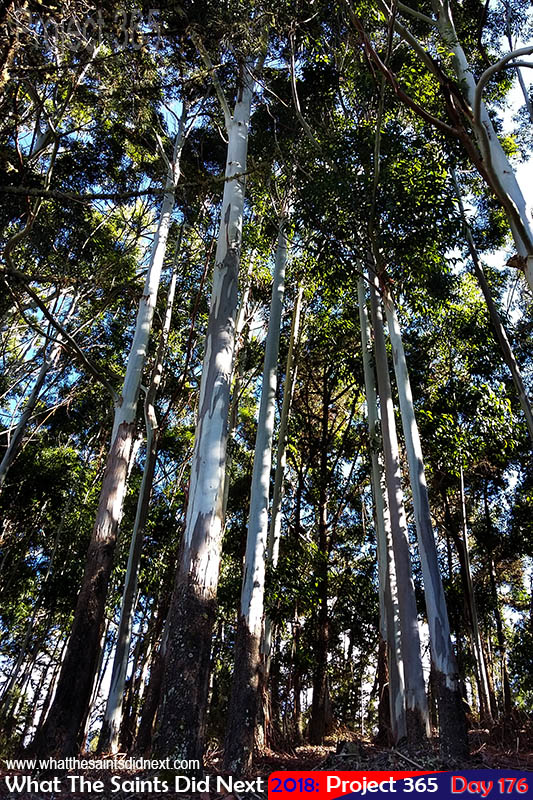 Eucalyptus trees at the Dungeon.