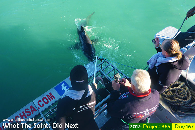 Great white shark cage diving in South Africa with Marine Dynamics Gansbaai.