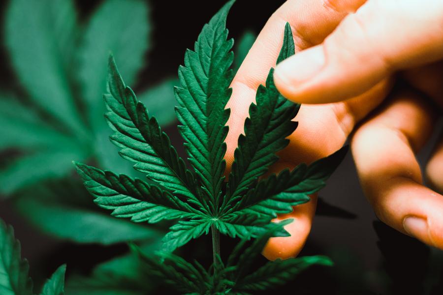 aaaa cannabis