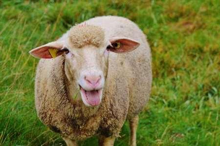 Стадо овец подкармливают за криптовалюты