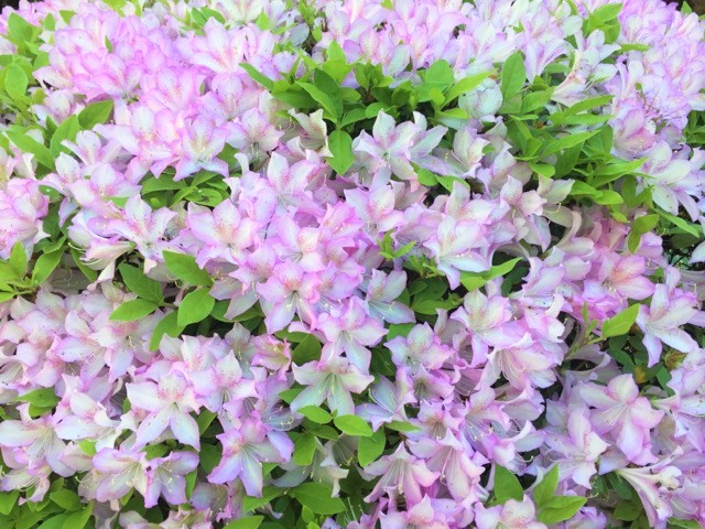azalea white