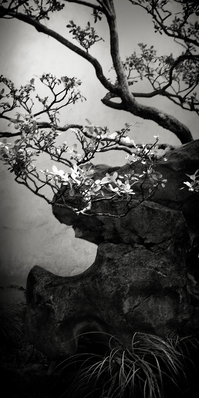 """""""Suzhou Blossoms, 2013"""", 18""""x9"""" archival pigment print on Baryta paper by Clyde Heppner (courtesy of the artist)"""