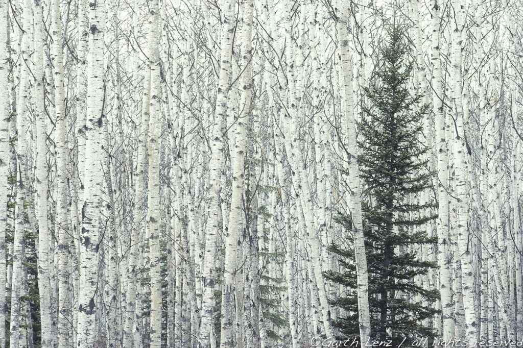 """Aspen and Spruce, Northern Alberta, 2005"" archival pigment print bonded to aluminum by Garth Lenz (courtesy of the artist and 555 Gallery, Boston)"