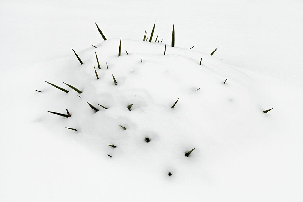 """Untitled (Adam's Needle), Whitestown, NY, 2013"" by Angela Mittiga (courtesy of the artist and Gallery Kayafas, Boston)"