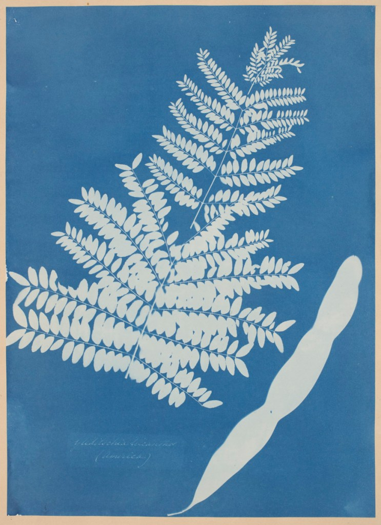 """Honey Locust Leaf Pod, c.1854"" by Anna Atkins (British 1799-1871). Courtesy of the Worcester Art Museum, Worcester, MA."