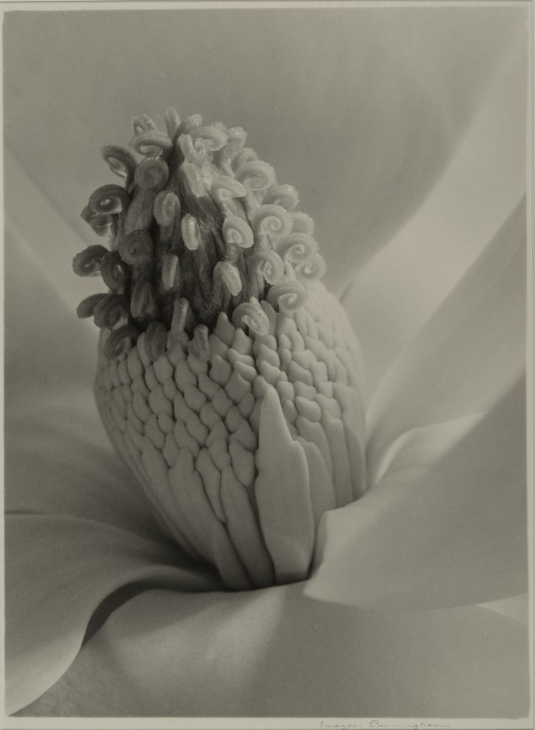 Magnolia Blossom (Tower of Jewels) Imogen Cunningham (American, 1883–1976) 1925 Photograph, gelatin silver print *The Lane Collection *© The Imogen Cunningham Trust. www.imogencunningham.com. *Courtesy, Museum of Fine Arts, Boston