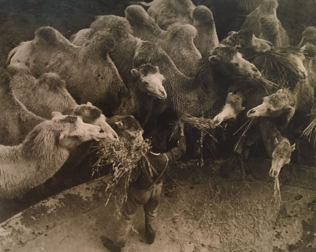 """Dromedaries in the Berlin Zoo, 1930"" gelatin silver print by Martin Munkásci (American, born in Hungary 1896-1963), (courtesy of Estate of Martin Mukásci, Howard Greenberg Gallery, N.Y. and the J. Paul Getty Museum, Los Angeles)."