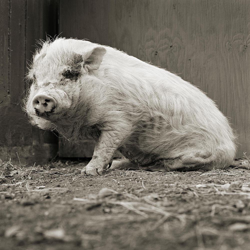 geriatric pig