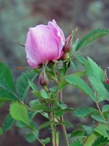A Lovely Setting for a Lovely Rose
