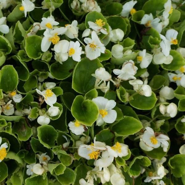 flat begonia green leaf white
