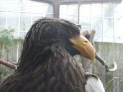National Aviary Sea Eagle