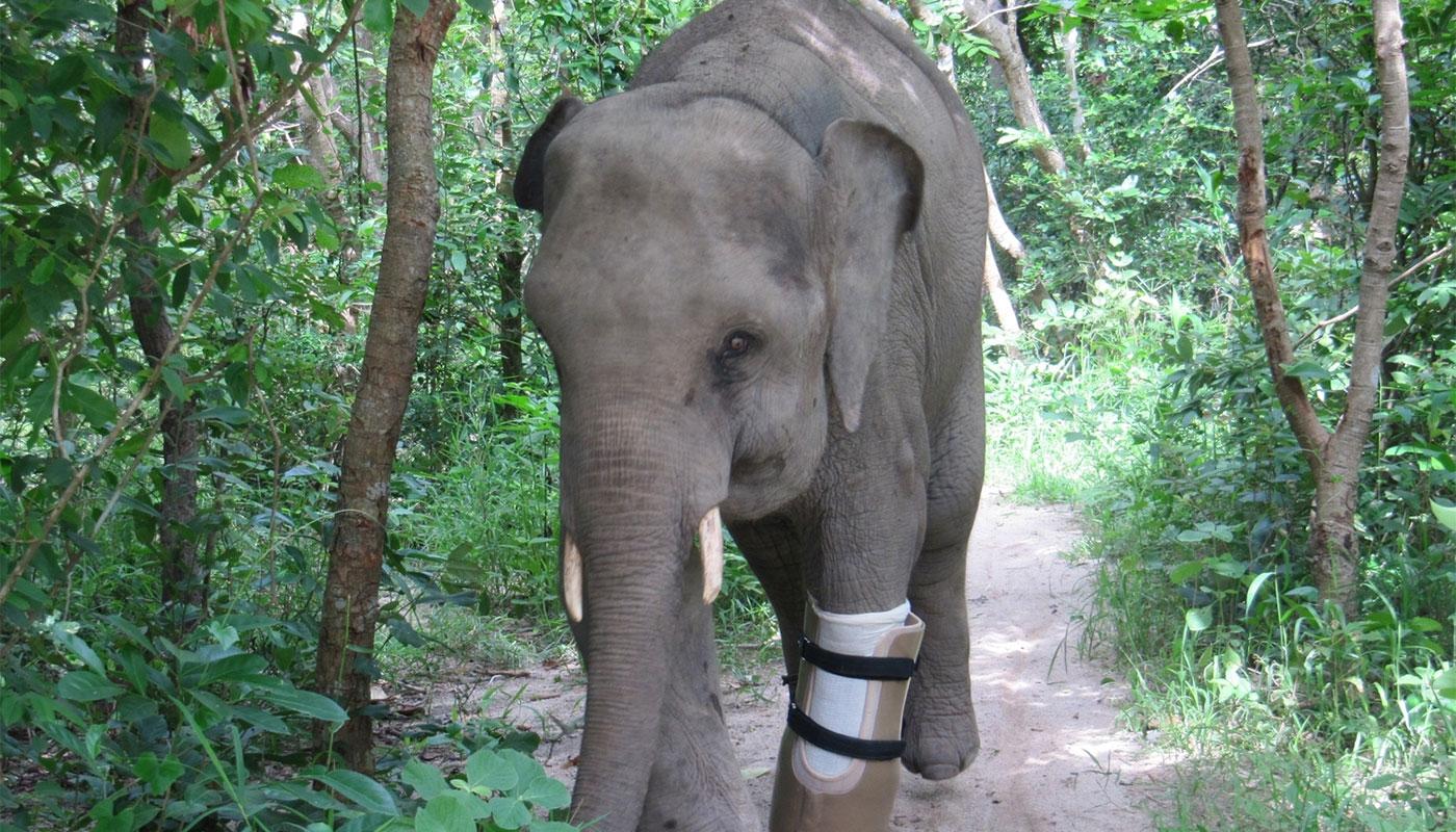 Chhouk the Amputee Elephant