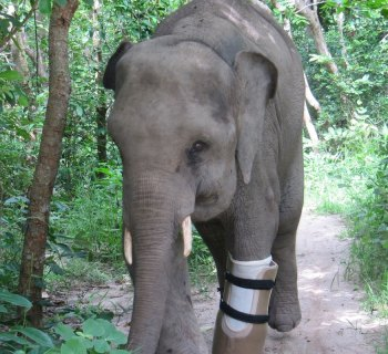 Chhouk the Amputee Elephant