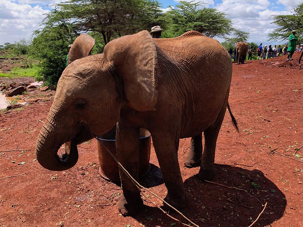 Adolescent elephant at refuge.