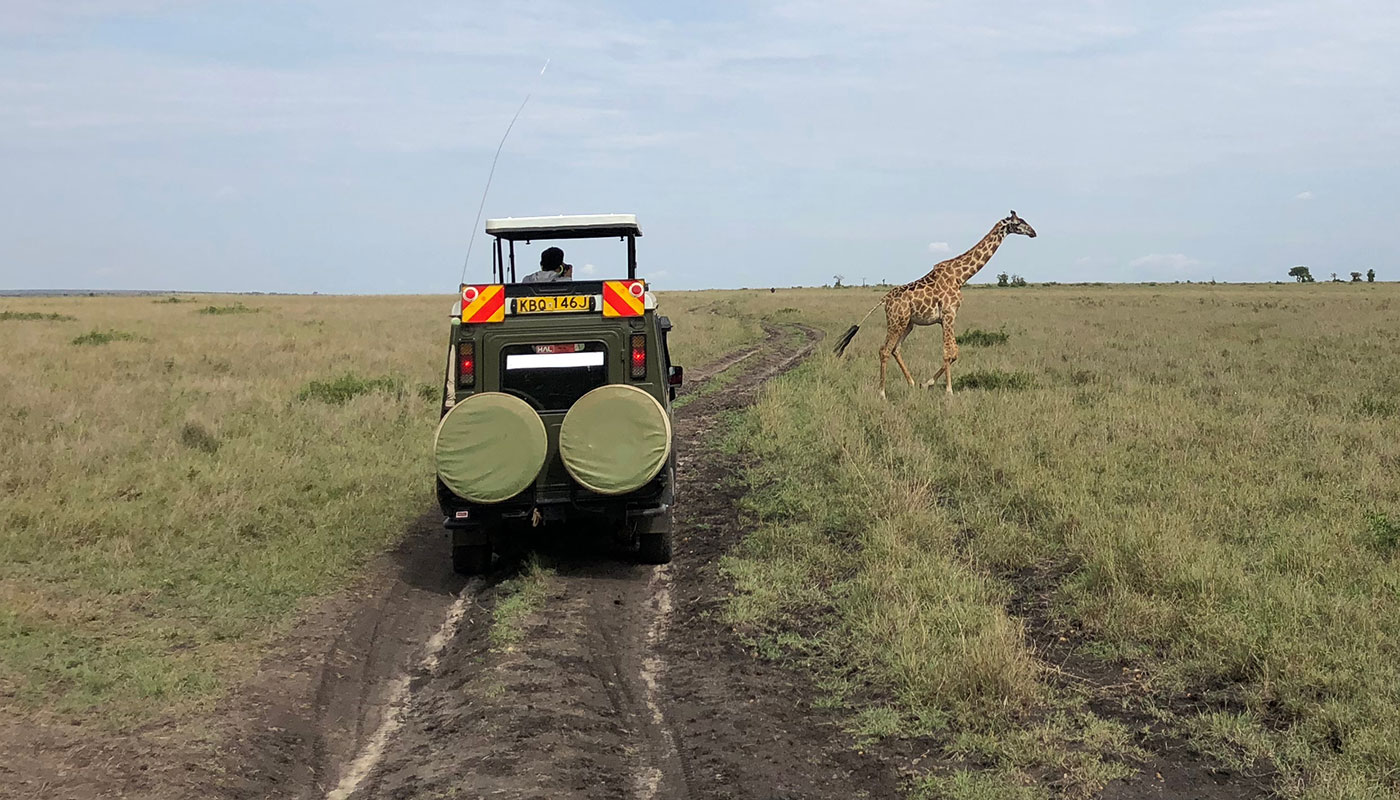 Giraffe crossing in front of a safari vehicle.