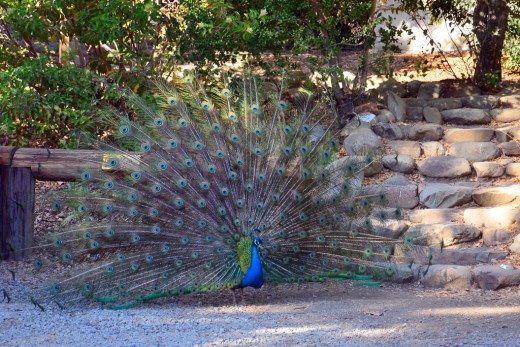 It's peacock courting season. I don't think I've ever seen such giant feathers. He seemed pleased to turn around and show them to us. (Teddy was very good about it, too.)
