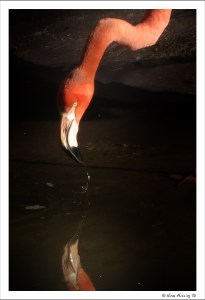 Pink Flamingo reflections