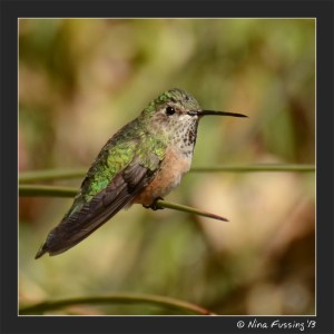 A hummingbird (don't ask me which kind)
