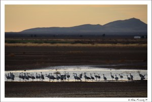 Hundreds of sandhill cranes near dusk