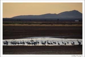 Hundreds of sandhill cranes near dusk