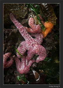 Starfish collage at low tide