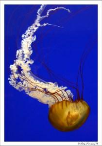 I loooove photographing jellyfish!
