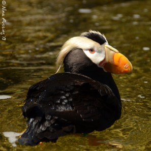A fine-looking Tufted Puffin