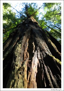 The towering red giants of Jedadiah Smith Redwoods State Park