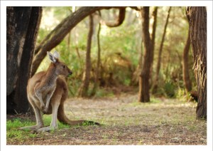 Can't go to Australia and not get a kangaroo pic, right?