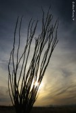 An Ocotillo shadows the sunset