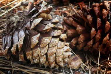 Pine Cones!