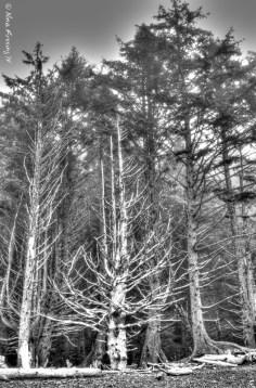 Rialto Beach trees