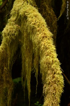 Hairy moss like an old man's beard
