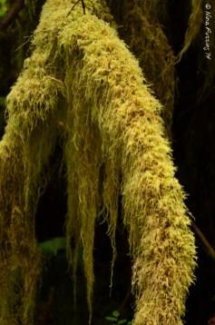 Hairy moss like an old man's beard