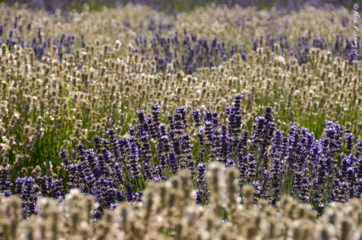 Intermingled rows of white and purple lavender. The aroma alone will make you happy :)