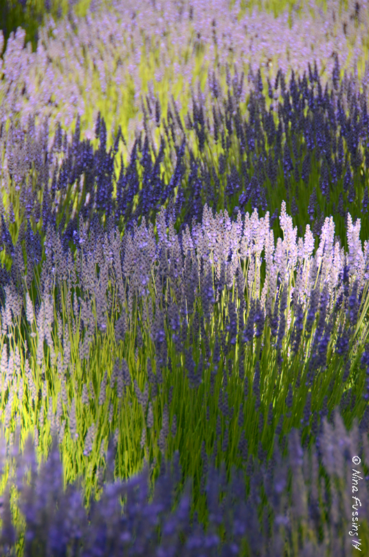 Lavender in shadow and light