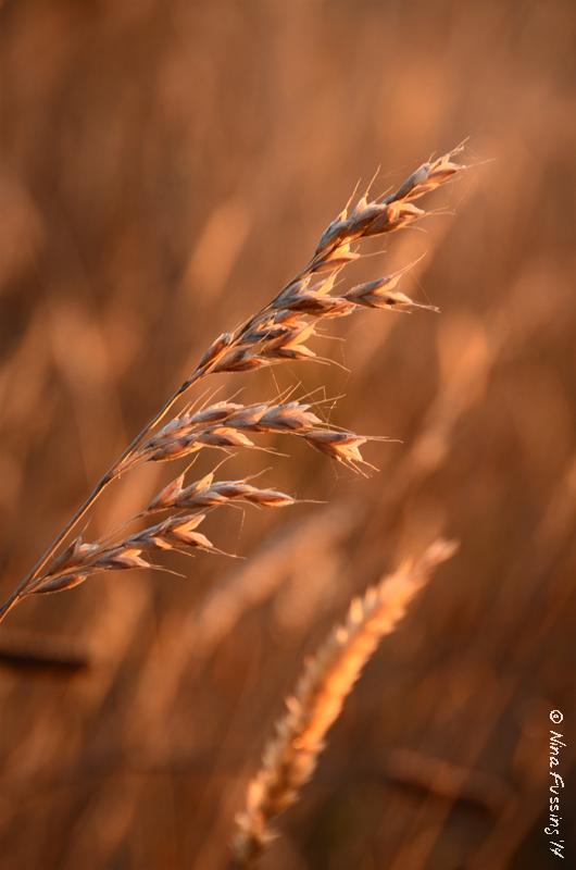 Evening light in the grass
