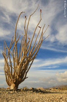 """A lone Ocotillo. Can you see the """"beast""""?"""