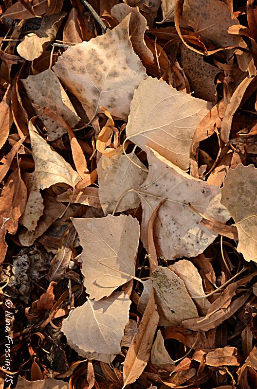 Cottonwood leaf patterns