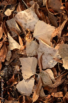 Cottonwood leaf patterns