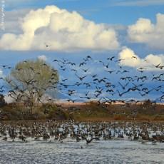 A Watery Oasis -> Cibola National Wildlife Refuge, AZ