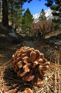 Enormous pine cones litter the trail