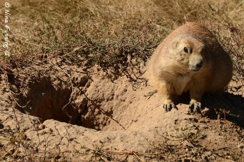 Ya looking at me? Prarie dogs are EVERYwhere here!