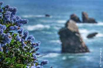 Flowers and sea stacks on the rim trail at Harris State Park