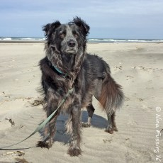 Polly 3-Week Post-TPLO Surgery Update