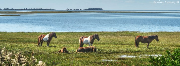 Sometimes you DO see the ponies in the wild. This herd was hanging right by the bridge to the Island
